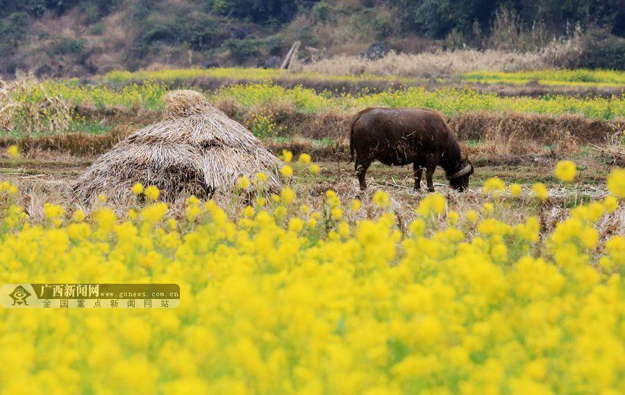 柳州市融安县3万余亩油菜花迎春开放,成为桂北春天里一道美丽的风景.