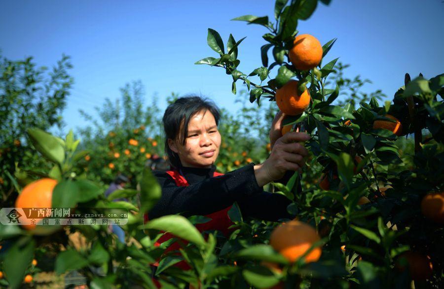 3月9日,来宾市忻城县红渡镇定良村村民收获沃柑,准备外销.