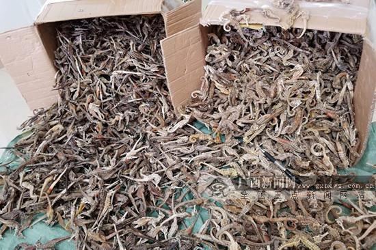 凭祥查获国家二级保护动物制品海马干约7750只