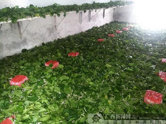 柳南区流山镇发展特色产业 竹鼠桑蚕养殖亮点多图片
