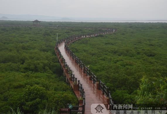 保护良好的红树林.广西新闻网记者周隆富 摄