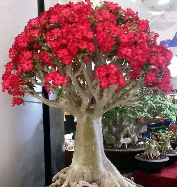 沙漠玫瑰_沙漠玫瑰冬天怎么养?